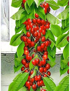 Колоновидная черешня Красная помада в Бердске
