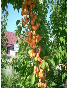 Колоновидный абрикос Первайс в Бердске