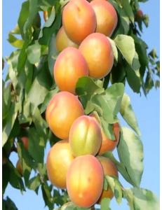Колоновидный абрикос Радости жизни в Бердске