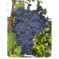 Виноград Викинг в Бердске