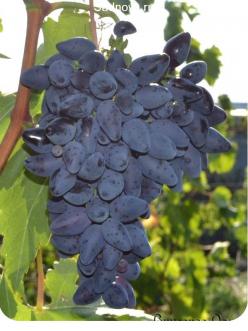 Саженцы Винограда Викинг в Бердске