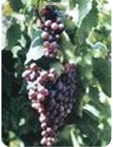 Виноград Агат Донской в Бердске
