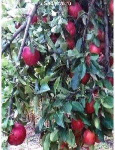 Яблоня Рихард в Бердске