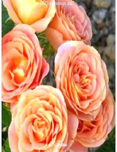 Роза Экзотика в Бердске