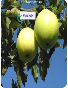 Яблоня Белый Налив в Бердске
