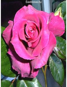 Роза Биг Парпл в Бердске