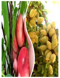 Комплект из 2-х сортов в Бердске - Миндаль Нонпарель + Инжирный персик Маршмеллоу