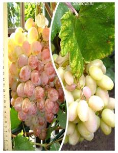Комплект из 2-х сортов в Бердске - Виноград Преображение + Виноград Фламинго