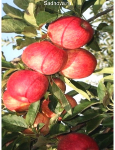 Яблоня Книп-Баум Галла Мондиал в Бердске
