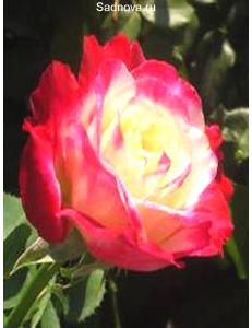 Роза Дабл Дилайт в Бердске