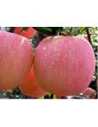 Яблоня Фуджи в Бердске
