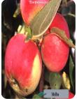 Яблоня Мельба в Бердске