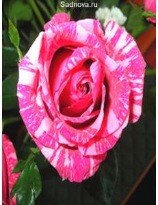 Роза Сатина в Бердске
