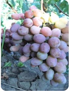Виноград Анюта в Бердске