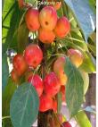 Яблоня Райская Яблоня в Бердске