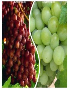 Комплект из 2-х сортов в Бердске - Виноград Граф Монте Кристо + Виноград Александрит