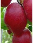 Яблоня Джонатан в Бердске