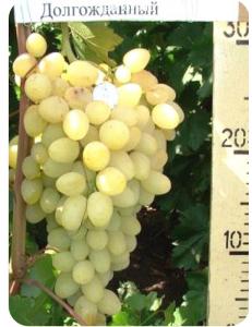Виноград Долгожданный в Бердске