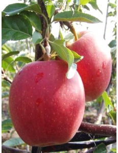 Яблоня Гала Маст в Бердске