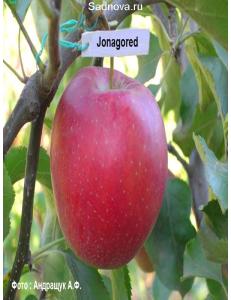 Яблоня Джонагоред в Бердске