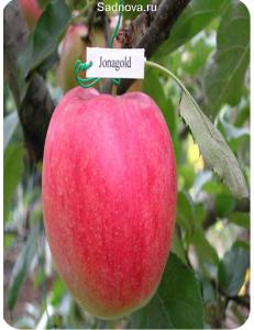 Яблоня Джонаголд в Бердске