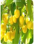 Черешня Дрогана Желтая в Бердске