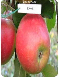 Яблоня Джина в Бердске