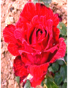 Роза Ред Интуишн в Бердске