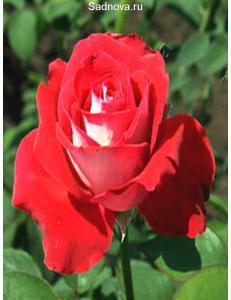 Роза Луксор в Бердске
