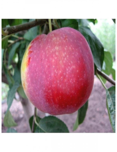 Яблоня Виста Белла в Бердске