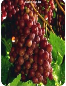 Виноград Граф Монте Кристо в Бердске