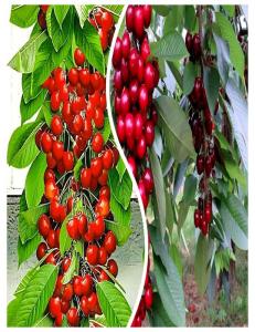 Комплект из 2-х сортов в Бердске - Колоновидная черешня Красная помада + Колоновидная черешня Квин Мери