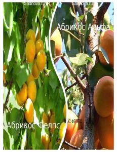 Комплект из 2-х сортов в Бердске - Абрикос Альфа + Абрикос Фелпс