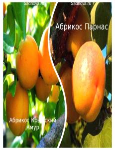 Комплект из 2-х сортов в Бердске - Абрикос Парнас + Абрикос Крымский Амур
