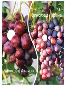 Комплект из 2-х сортов в Бердске - Виноград Атаман + Виноград Низина