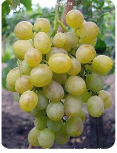 Виноград Восторг в Бердске